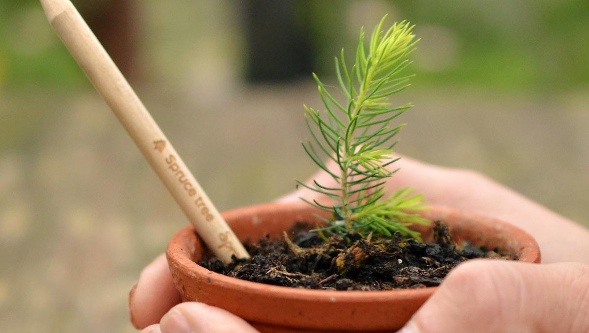 fichte baum sprout